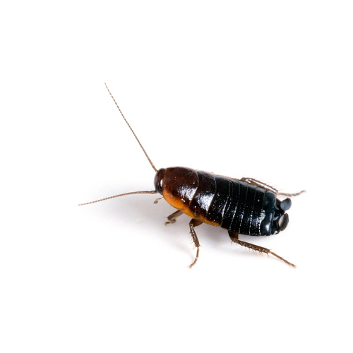 Blattodea is an order of insects that contains the cockroaches. Shown here, the Oriental Cockroach (Blattella orientalis).