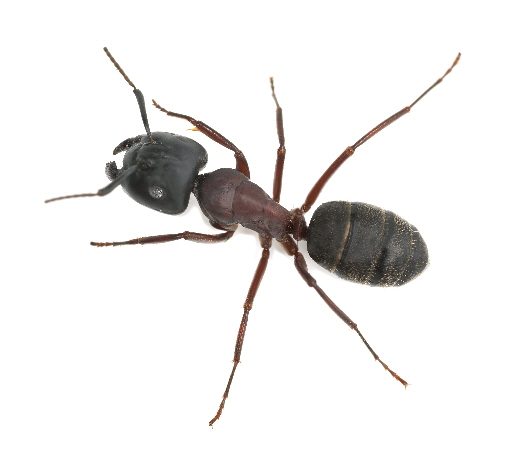 Carpenter ants (Camponotus spp.) are large wood destroying ants from the order hymenoptera.