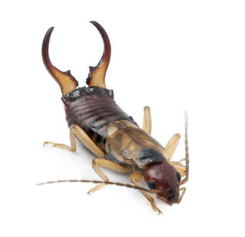 Earwigs make up the insect order Dermaptera. With about 2,000 species in 12 families, they are one of the smaller insect orders.