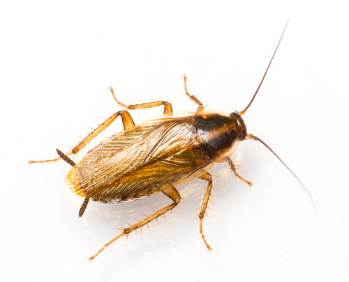 Blattodea is an order of insects that contains the cockroaches. Shown here, the German cockroach (Blattella germanica).
