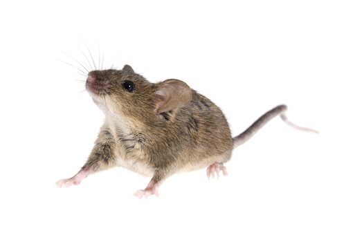 The house mouse (Mus musculus) is a small mammal of the order Rodentia. Gestation period is 9–21 days, producing a litter of 3–14 young.