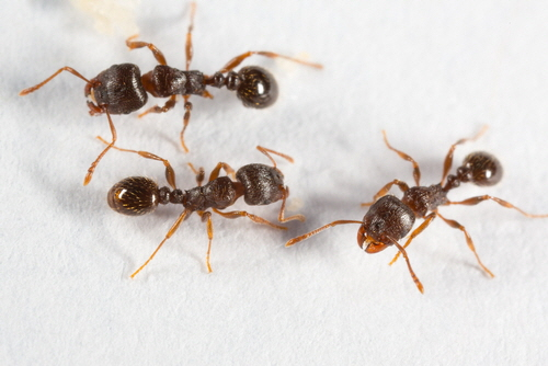 Pavement ant (Tetramorium caespitum) native to Europe, occurs as an introduced pest in North America.